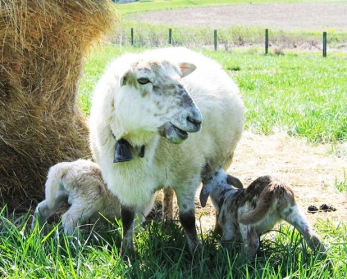 Freckles was an amazing mother who usually had triplets and raised them brilliantly; here she is in 2006 with twins.