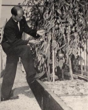Tux & tomatoes: Dad in his greenhouse, ca. 1947.